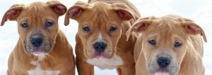 3-pitbull-puppies