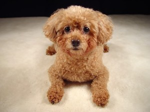 cute brown poodle