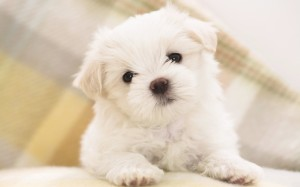cute white maltese